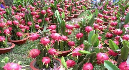 bibit buah naga merah