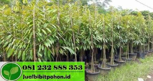 Bibit Durian Musangking dan Montong Murah