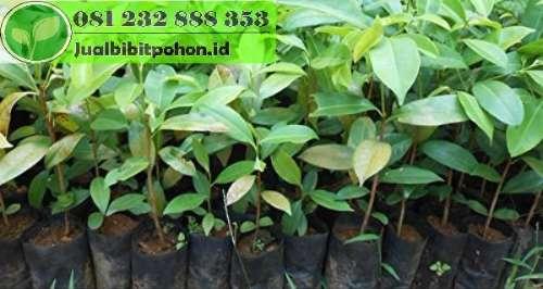 Bibit Pohon Tanjung Super Harga Murah Kualitas Bagus