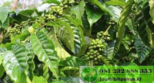 Bibit kopi arabika