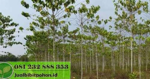 Harga Pohon Gaharu Umur 5 Tahun