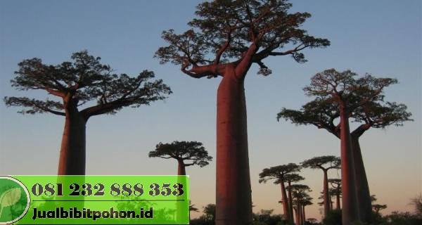 Jual Bibit Baobab Kualitas Super Harga Grosir Murah