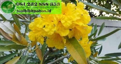 Jual Bibit Pohon Tabebuya Kuning Harga Grosir Murah