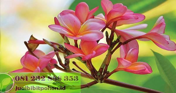 Jual Tanaman Bunga Kamboja Harga Grosir Murah