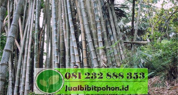 bibit bambu jakarta
