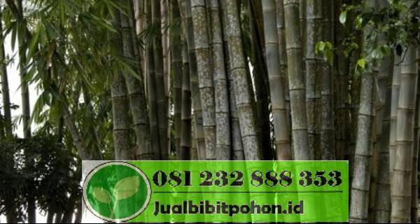 Ciri ciri bambu jakarta