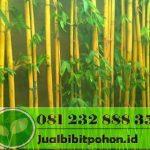 Bambu Jakarta Siap Tanam Murah Berbagai Ukuran