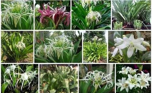 bunga-bakung