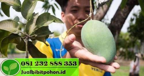 Bibit Mangga Arum Manis Probolinggo