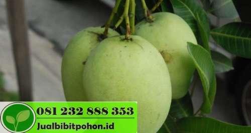 Bibit Mangga Arum Manis Super