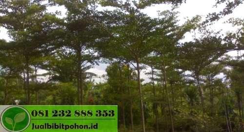 Pohon Ketapang Mini