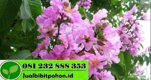 Bunga Bungur