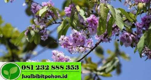 Jual Pohon Bungur