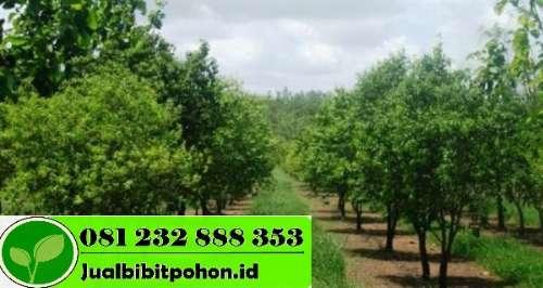 Jual Bibit Pohon Cendana