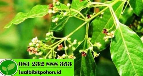 Bibit Pohon Cendana