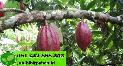 Jual Bibit Kakao Sambung Pucuk