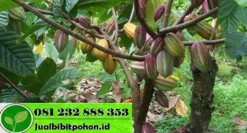 Bibit Kakao Sambung Pucuk