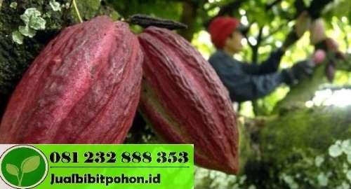 Harga Bibit Kakao Sambung Pucuk