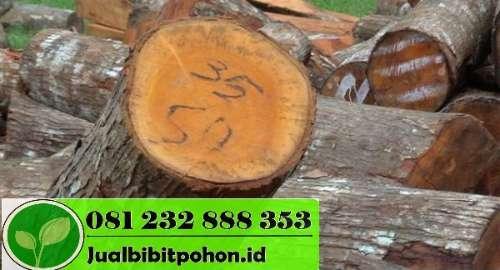 Jual Pohon Mahoni