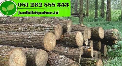AGRO SEJAHTERA Jl. Air Mancur No 15 RT.23 RW.2 Ds. Rembang Kecamatan Ngadiluwih Kediri Jawa Timur Alun-Alun ke Selatan 5 km Kiri Jalan 03547474154 / 081259607884 / 0813 3005 6243 / agrosejahtera1@gmail.com Pohon Mahoni dikenal masyarakat Jawa sudah sejak lama. Bahkan Tumbuhan ini adalah salah satu penghasil kayu keras yang banyak digunakan untuk pembuatan perabot rumah tangga atau benda ukiran. Jual bibit tanaman Kayunya juga sangat sering dibuat penggaris karena tak mudah berubah dari waktu ke waktu. Getahnya pun cukup baik untuk dijadikan bahan perekat. Pohon Mahoni Sebagai Peneduh Mahoni di kenal masyarakat luas sejak zaman penjajahn dan dapat digunakan sebagai pohon yang sangat berguna sebagai peneduh di tepi jalan. Orang yang paling berjasa mempopulerkan pohon ini adalah Jenderal Herman Willem Daendels, Gubernur Hindia Belanda pada masa 1808-1811. Ketika Daendels akan membangun jalan dari Anyer hingga ke Panarukan, Dendles memilih Pohon Mahoni dan Pohon Asem yang nantinya akan ditanam di pinggir jalan untuk dijadikan penghias sekaligus peneduh. Inisiatif Daendels untuk menanam Mahoni di pinggir jalan, bukan tanpa perhitungan. Pohon ini sudah terbukti mampu mengurangi polusi udara sekitar 48% – 70% sehingga disamping sebagai pohon pelindung dan peneduh, Mahoni juga berfungsi sebagai filter udara dan penahan daerah dengantangkapan air. Daun-daun pohon Mahoni juga akan menyerap polutan-polutan di sekitarnya. Sebaliknya, mahoni juga akan melepaskan oksigen (O2) yang membuat udara di sekitarnya menjadi segar dan juga sejuk. Pada saat turun hujan, tanah dan akar-akar pohon Mahoni akan mengikat air yang jatuh, sehingga menjadi cadangan penyimpan air. Pengembangbiakan Mahoni ini adalah jenis pohon besar dengan tinggi bisa mencapai 35-40 m serta diameternya bisa mencapai 130 cm. Batangnya tegak lurus berbentuk semacam silindris dan juga tidak berbanir. Ketika masih muda, kulit batang nya berwarna abu-abu dan sangat halus. Namun setelah tua akan berubah menjadi berwarna 