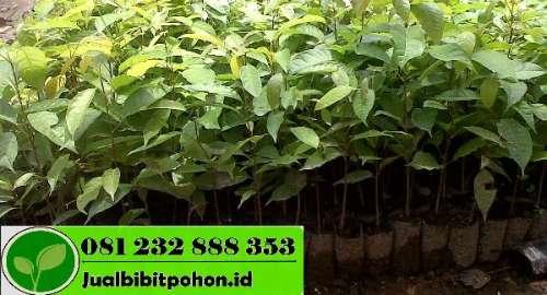 Harga Pohon Mahoni