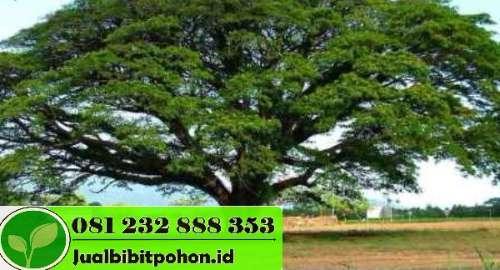 Jual Pohon Trembesi Besar