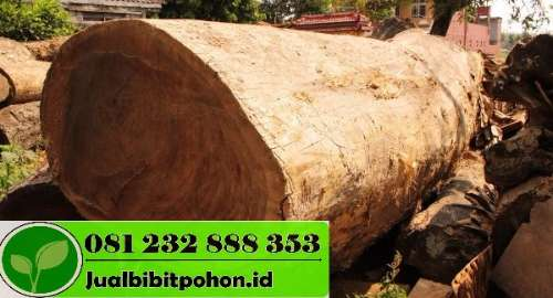 Harga Pohon Trembesi Besar