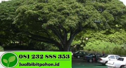 Harga Pohon Trembesi
