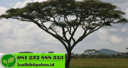 Jual Pohon Trembesi