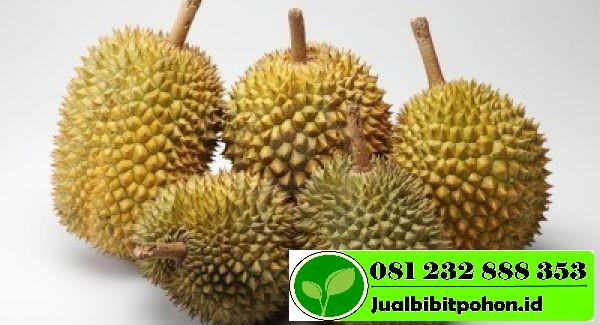 Jual Bibit Unggul Durian Montong dengan Harga Grosir Murah