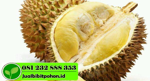 Durian Montong 1 1