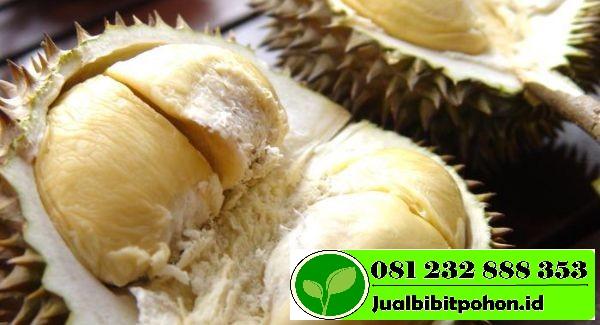 Durian Petruk Durian Unggul Khas Jepara 1 1