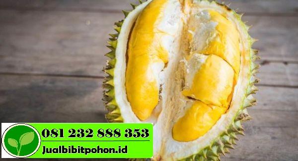 Menyediakan Bibit Unggul Durian Musangking Dengan Harga Grosir Termurah