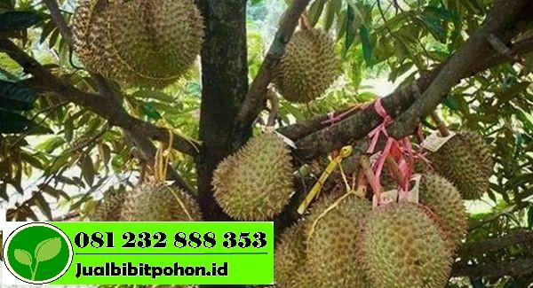 Menyediakan Bibit Unggul Durian Merah dengan Harga Terjangkau