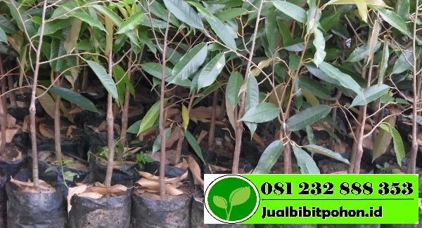 bibit durian montong javatani farm 1 1 1