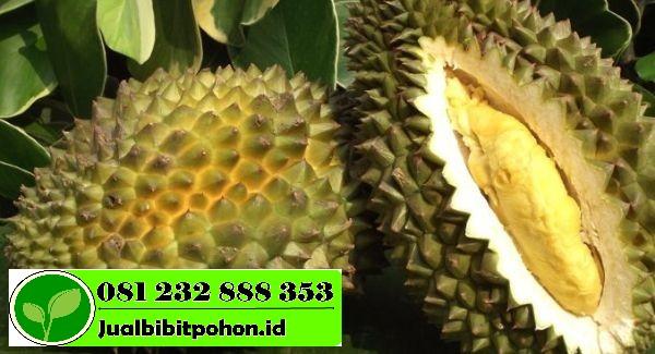 Jual Bibit Unggul Durian Chanee dengan Harga Murah
