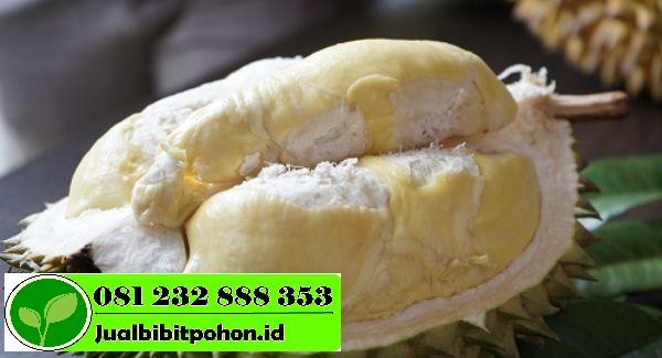 Bibit Unggul Durian Sunan dengan Harga Grosir Murah Meriah