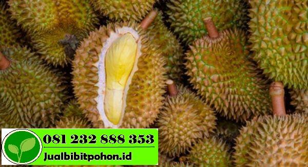 Jual Bibit Unggul Durian Ajimah dengan Harga Termurah