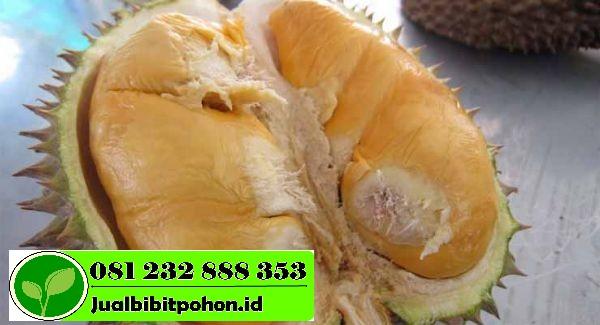 Menyediakan Bibit Unggul Durian Bawor dengan Harga Murah