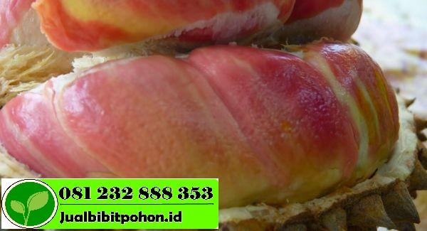 large durian merah 0ac520f8eb554583ddde9a136c0b9a33 1 1