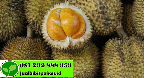 panen durian di kebun komang supandi malah tewas kejatuhan durian 700x350 1 1
