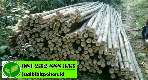 Jual Bibit Unggul Bambu Tali Harga Terjangkau