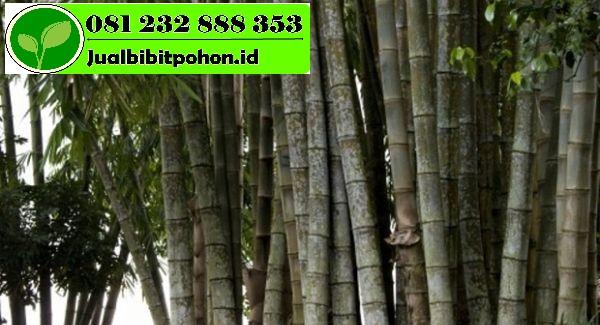 Jual Bibit Unggul Bambu Jawa dengan Harga Grosir