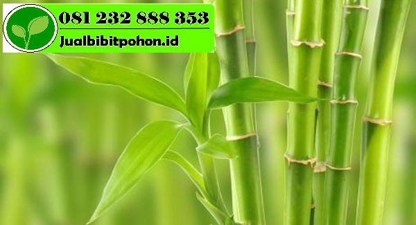 Jual Bibit Unggul Bambu dengan Harga Terjangkau
