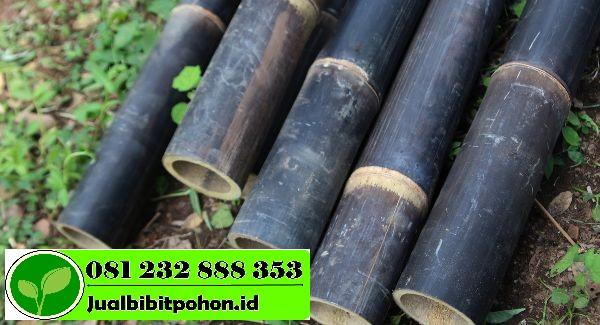 Jual Bibit Bambu Hitam Kualitas Unggul dan Harga Murah