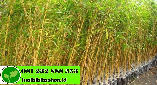 Harga Terjangkau Bibit Unggul Bambu Kuning