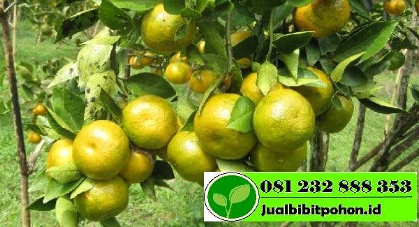 jeruk siam banyuwangi 1 1