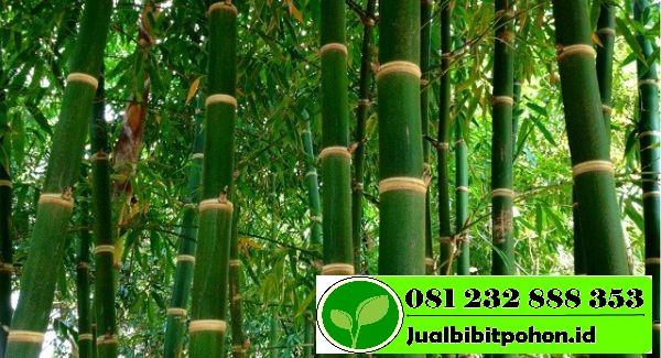 Harga Bibit Unggul Bambu Ori Murah Meriah
