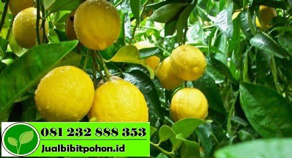 Jual Bibit Jeruk Lemon Harga Murah Kualitas Unggul