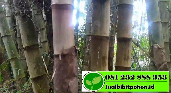 Jual Bibit Unggul Bambu Petung Harga Murah Meriah
